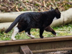 Skimbleshanks the Railway Cat?